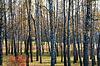 Jesień Brzozowy gaj | Stock Foto
