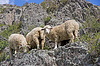 ID 3503704 | Owiec na pięknej łące górskiej | Foto stockowe wysokiej rozdzielczości | KLIPARTO