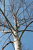 Birke gegen den blauen Himmel | Stock Foto