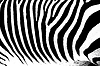 Zebra animal pattern | Stock Foto