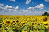 Pole słoneczników pod nieba | Stock Foto