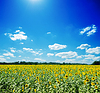 Sunflowers field and white clouds on blue sky | Stock Foto