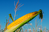 ID 3688447 | Frischem rohem Mais auf cob mit Schale | Foto mit hoher Auflösung | CLIPARTO