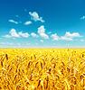 Pole złotej pszenicy zgodnie z nieba | Stock Foto