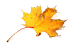 Dry autumn maple leaf | Stock Foto