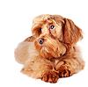 装饰红色的狗 | 免版税照片