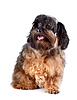 ID 3670959 | Kleine shaggy dekorative doggie | Foto mit hoher Auflösung | CLIPARTO