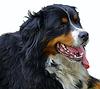 伯恩山犬 | 免版税照片