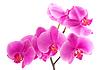 紫色兰花 | 免版税照片