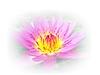 ID 3588178 | Piękny kwiat lotosu Białym Tle | Foto stockowe wysokiej rozdzielczości | KLIPARTO