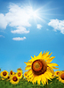 Schöne Sonnenblumen | Stock Foto