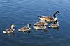 ID 3433988 | 캐나다 기러기 가족 | 높은 해상도 사진 | CLIPARTO