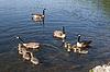 ID 3433989 | Канадские гуси семьи | Фото большого размера | CLIPARTO