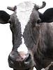 ID 3454717 | Schwarz-weiße Kuh auf dem weißen Hintergrund | Foto mit hoher Auflösung | CLIPARTO