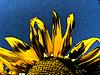 Schöne gelbe Sonnenblume | Stock Foto