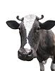 Schwarzweiße Kuh | Stock Foto