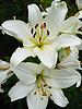 Schönen weißen Lilien | Stock Foto