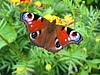ID 3475449 | Oko pawia na kwiat | Foto stockowe wysokiej rozdzielczości | KLIPARTO