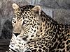 Schöne Leopard | Stock Foto