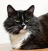 ID 3566870 | The muzzle is black and white cat | Foto stockowe wysokiej rozdzielczości | KLIPARTO