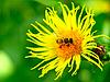 Pszczoła na kwiat | Stock Foto