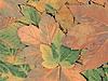Herbst-Ahorn | Stock Foto