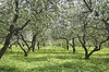 苹果花园 | 免版税照片