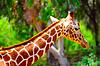 长颈鹿 | 免版税照片