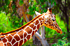 Żyrafa | Stock Foto