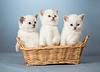 ID 3657098 | Drei weiße British kittens in basket | Foto mit hoher Auflösung | CLIPARTO