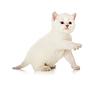 ID 3657099 | Britische Baby Katze mit erhobenem paw | Foto mit hoher Auflösung | CLIPARTO