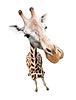 Жираф портрет. Вид сверху широкоугольный объектив с | Фото