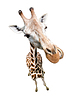 Giraffe portrait . Top view wide lens s | Stock Foto