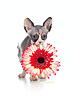 ID 3658958 | 아프리카 데이지 꽃과 캐나다 스핑크스 고양이 | 높은 해상도 사진 | CLIPARTO