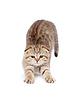 ID 3660644 | Pręgowany kotek brytyjski rozciąga się mało | Foto stockowe wysokiej rozdzielczości | KLIPARTO