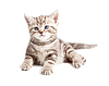 Британская кошка или котенок ребенка лежащим | Фото
