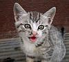 ID 4587086 | Gray gestreiften Kätzchen | Foto mit hoher Auflösung | CLIPARTO
