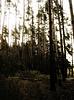 Weinlese-Foto von Pine Forest   Stock Foto