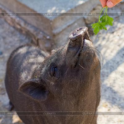 Вьетнамская вислоухая свинья | Фото большого размера |ID 3471048