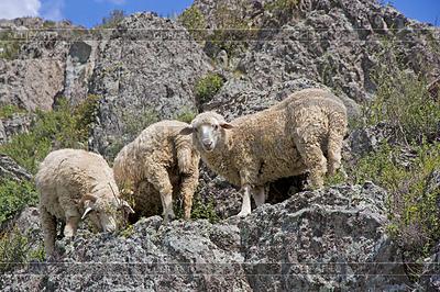 Owiec na pięknej łące górskiej | Foto stockowe wysokiej rozdzielczości |ID 3503704