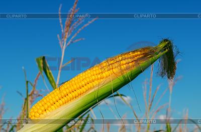 Frischem rohem Mais auf cob mit Schale   Foto mit hoher Auflösung  ID 3688447