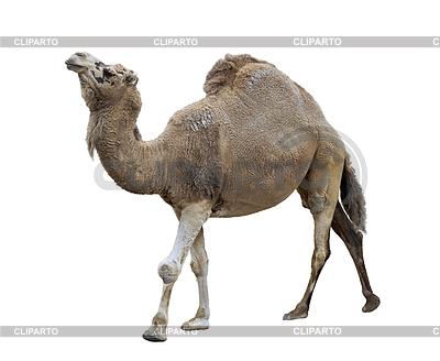 верблюд клипарт:
