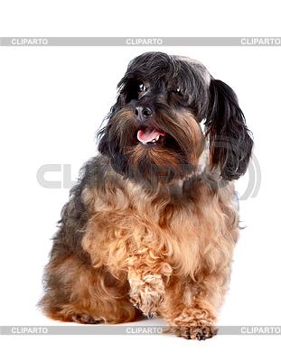 Kleine shaggy dekorative doggie | Foto mit hoher Auflösung |ID 3670959
