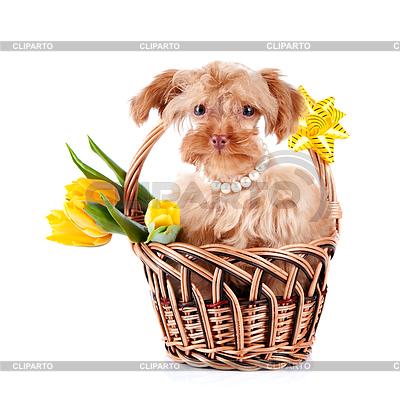 Hündchen im Korb mit Blumen | Foto mit hoher Auflösung |ID 3679988