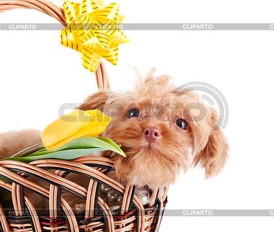 Doggie Porträt in Korb mit Blumen | Foto mit hoher Auflösung |ID 3679989