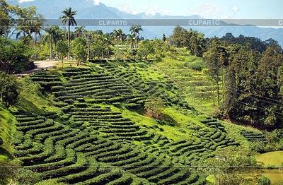 Tea Plantation in Taiwan | Foto mit hoher Auflösung |ID 3476939