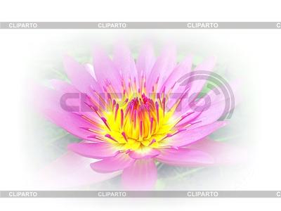 Piękny kwiat lotosu Białym Tle | Foto stockowe wysokiej rozdzielczości |ID 3588178