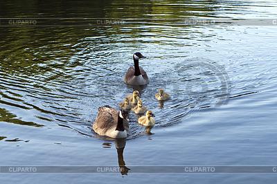 Kanadische Gänse Familie | Foto mit hoher Auflösung |ID 3433986