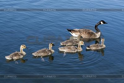 Канадские гуси семьи | Фото большого размера |ID 3433988