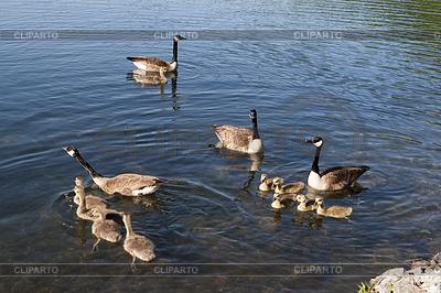 Канадские гуси семьи | Фото большого размера |ID 3433989